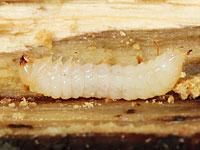 クロハナノミ属の一種の幼虫