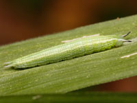 クロヒカゲの幼虫