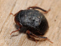クロヒラタヨコバイ属の一種の幼虫