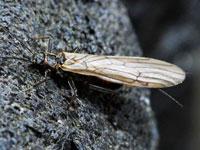 クロカワゲラ属の一種