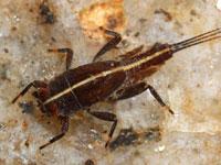 クロマダラカゲロウの幼虫