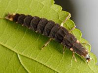 クロマドボタルの幼虫