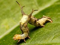 クロモンキリバエダシャクの幼虫
