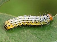 クロオビシロフタオの幼虫
