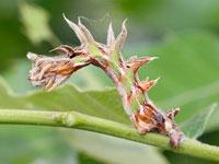 クロスジアオシャクの幼虫