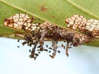 クロスジキンノメイガの幼虫