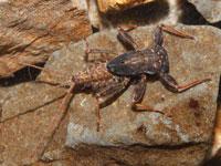クロタニガワカゲロウの幼虫