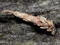 クロツヤミノガの幼虫