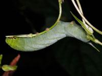 クルマスズメの幼虫