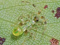 クスベニヒラタカスミカメの幼虫