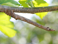 クワエダシャクの幼虫
