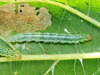 クワノメイガの幼虫