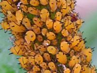 キョウチクトウアブラムシ