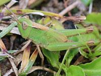マダラバッタの幼虫