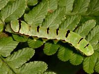 マダラツマキリヨトウの幼虫