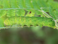マエグロシラオビアカガネヨトウの幼虫