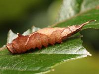 マエキカギバの幼虫