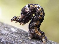 マエキオエダシャクの幼虫