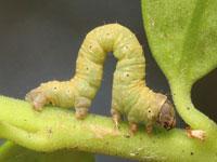 マエキトビエダシャクの幼虫