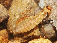 モンキマメゲンゴロウ属の一種の幼虫