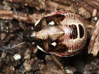 マルシラホシカメムシの幼虫