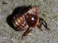 マルウンカの幼虫