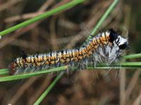 マツカレハの幼虫