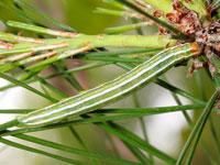 マツキリガの幼虫
