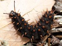 メスグロヒョウモンの幼虫