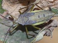 ミナミトゲヘリカメムシの幼虫