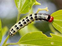 ミツボシキリガの幼虫