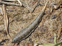 ミズアブの幼虫