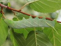 モモスズメの幼虫