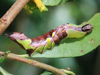 モンクロギンシャチホコの幼虫
