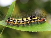 モンシロドクガの幼虫