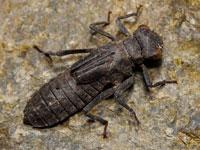 ムカシトンボの幼虫
