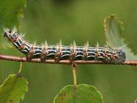 ムクツマキシャチホコの幼虫