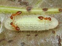 ムラサキシジミの幼虫