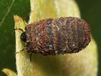 ムシクソハムシの幼虫