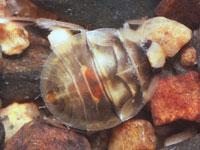 ナベブタムシの幼虫