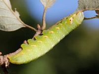 ナカキシャチホコの幼虫