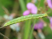 ナミテンアツバの幼虫