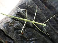 ナナフシの幼虫図鑑