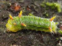 ナシイラガの幼虫