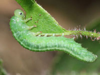 ニホンチュウレンジの幼虫