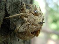 ニイニイゼミの幼虫