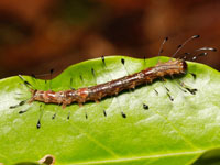 ニジオビベニアツバの幼虫