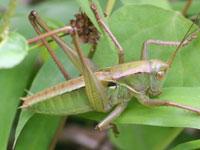 キリギリス・コオロギの幼虫図鑑