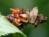 ニトベミノガの幼虫