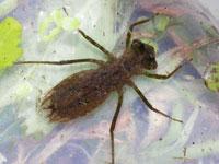 ノシメトンボの幼虫